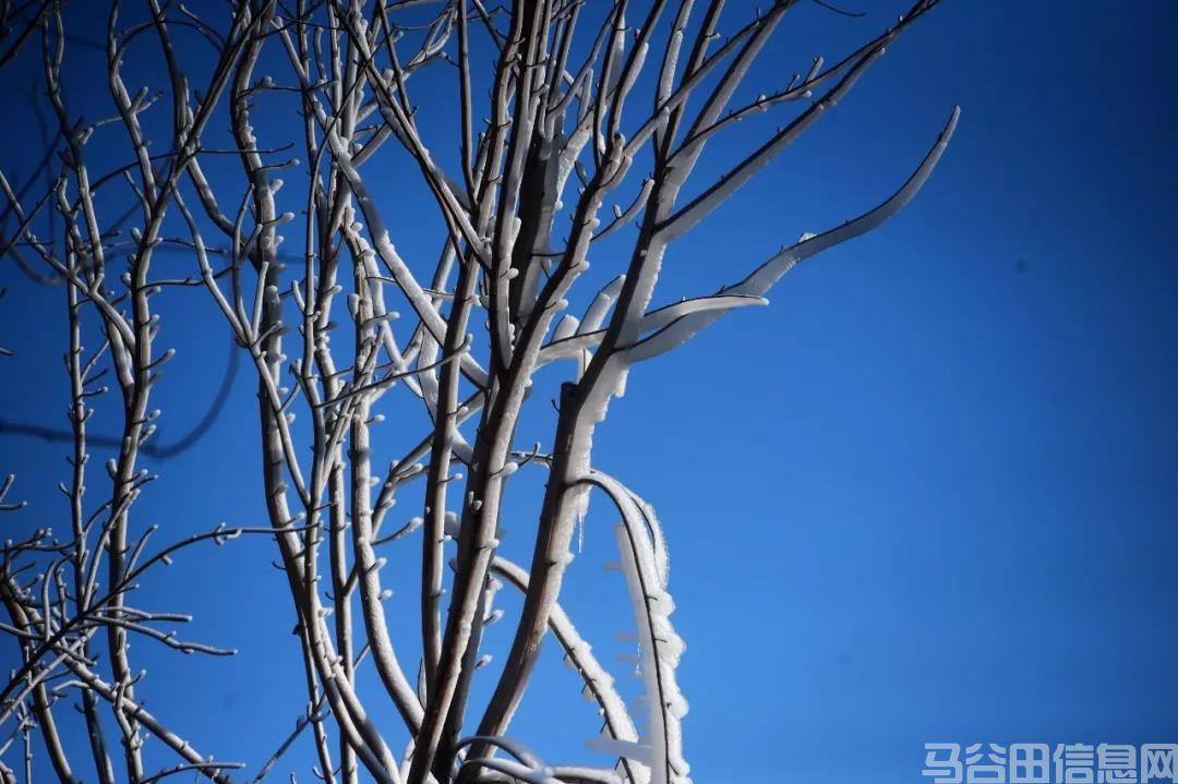 """气温直降至-5℃,马谷田出现很多""""鲁冰花"""""""